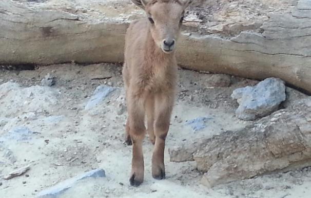 Nacen dos ejemplares de una especie amenazada de muflón en el Zoobotánico de Jerez