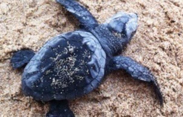 La mitad de los intentos de anidar de la tortuga boba en Catalunya fracasan por el contacto humano