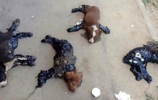 El maltrato animal no tiene límites: bañan en alquitrán a los perros para que se queden pegados