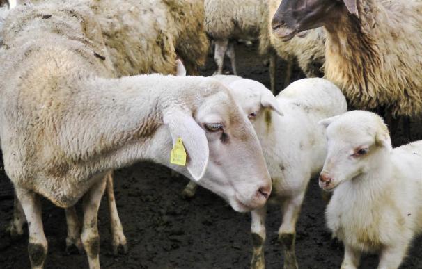 Igualdad animal denuncia el maltrato que sufren los corderos en un vídeo de 60 segundos
