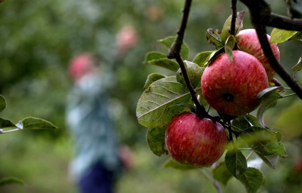 Maeloc amplía su ámbito de investigación para mejorar el rendimiento de los cultivos de manzana en Galicia