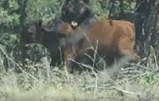 Un impactante vídeo muestra cómo un oso pardo intenta devorar a una vaca