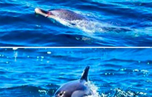 Piden ayuda para salvar a un delfín en Algeciras con una argolla en el hocico. Fotos: Rocío Espada