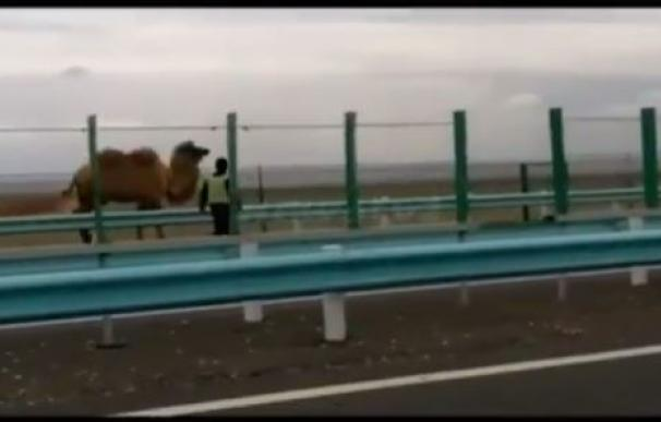 Dos camellos paralizan el tráfico en una carretera de China