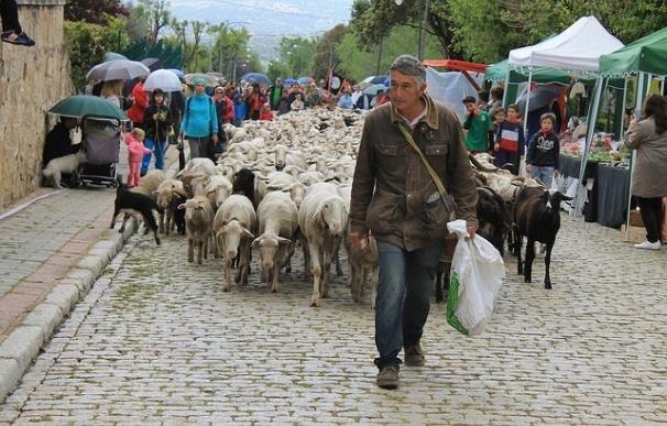Medio millar de ovejas recorren más de 120 kilómetros por la sierra noroeste para apoyar la trashumancia