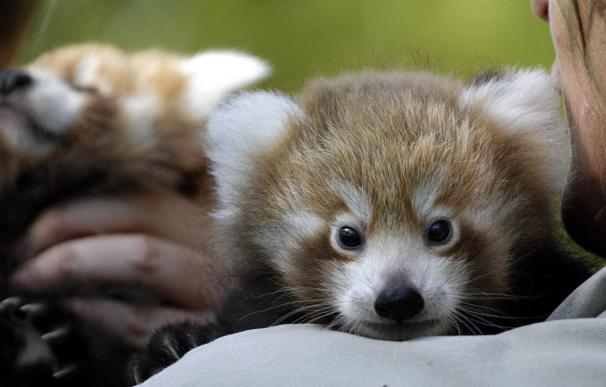 Seba, un bebé panda rojo, hace su primera aparición pública en Sídney