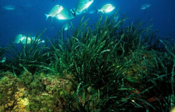 Ampliado el acuerdo para el seguimiento de praderas de posidonia oceánica y del cambio climático en el litoral