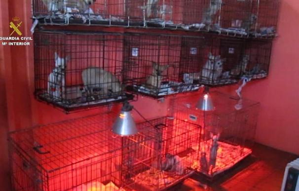 Intervenidos 400 cachorros de perro en diferentes ciudades, entre ellas Burgos, en diciembre