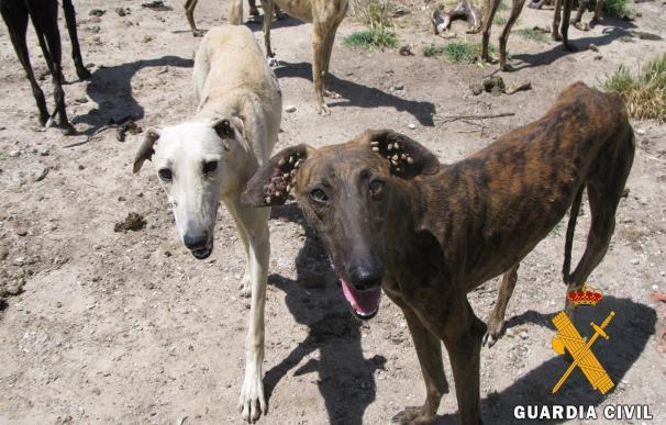 """Investigan una explotación de cría de galgos con canes en condiciones """"deplorables"""" en Peñaranda (Salamanca)"""