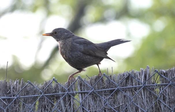Las aves que viven en las ciudades tienen una diversidad evolutiva más pobre