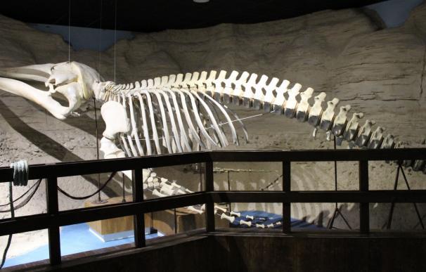 El Acuario expone por primera vez un esqueleto de ballena de casi siete metros