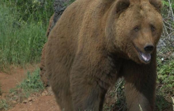 Continúa sin encontrarse rastro del oso tras cuatro días de búsqueda en las inmediaciones de Cabárceno
