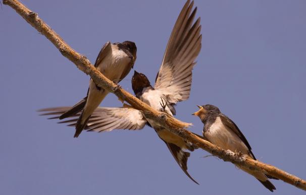 Las golondrinas adelantan su llegada a la Península Ibérica en primavera, según recuerda Seo/BirdLife