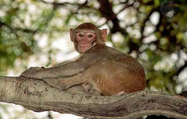 Un mono Rhesus, de la especie que provocó la muerte del teniente de alcalde de Delhi en 2007.