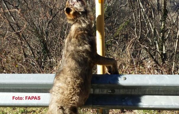 Aparece un nuevo lobo colgado de una señal en Teverga
