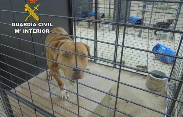 Detectan en Crevillent un criadero ilegal de perros peligrosos sin vacunación ni microchip