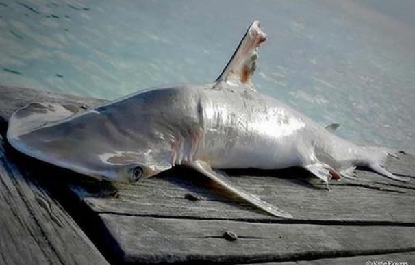 WWF pide proteger la biodiversidad marina del arrecife de Belice donde se ha descubierto una nueva especie de tiburón