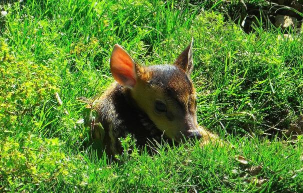Nace un nuevo ciervo asiático en el núcleo zoológico El Bosque
