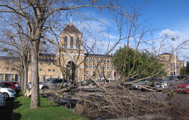 El viento derriba un árbol en el aparcamiento de la Universidad Laboral en Gijón
