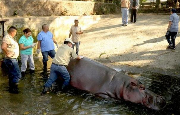 Matan a palos a Gustavito, el último hipopótamo del zoológico de El Salvador