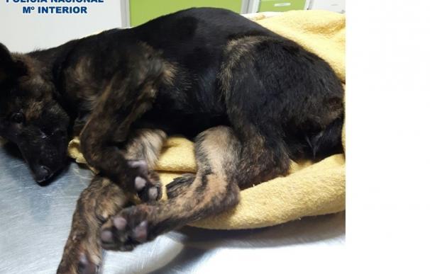 Rescatados dos cachorros de perro en situación de abandono grave en Vélez-Málaga y detenido su dueño