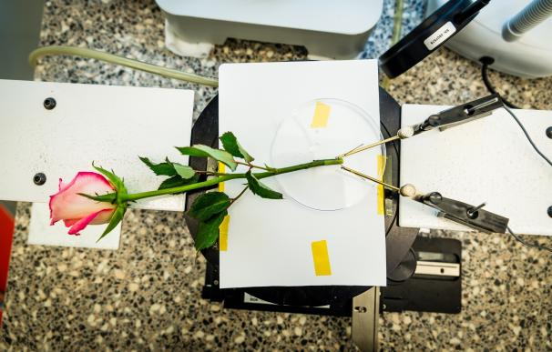 'Cablear' una rosa para almacenar energía