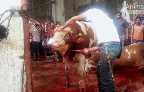 ONGs piden a la UE y a los Veintiocho que prohíban exportar animales vivos a países que no cumplen con el bienestar