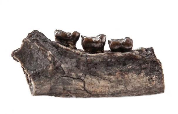 Cazadores de fósiles encuentran dientes de un nuevo primate