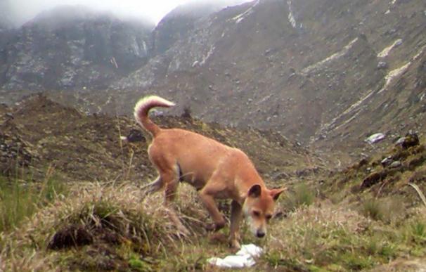 Hallan un grupo del perro más antiguo del mundo que se creía extinguidop