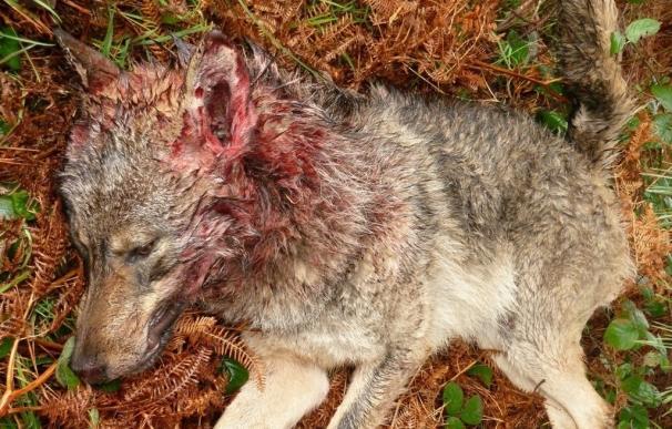 ONG ambientales exigirán mañana desde Atocha a Sol la protección del lobo ibérico y evitar matanzas