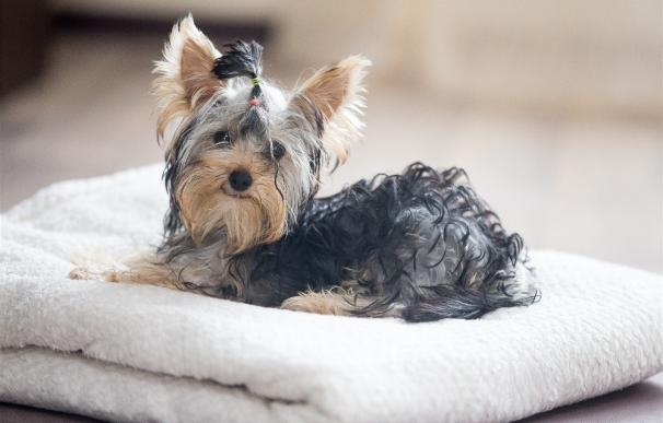 Equo propone una enmienda para zanjar esta semana en el Congreso el debate sobre la amputación de la cola de los perros