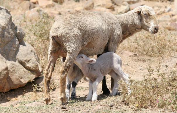 Las Asociaciones de oveja, cabra y gallina ibicencas reciben 205.000 euros de ayudas