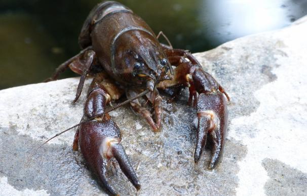 El Supremo desestima el incidente de nulidad del Estado frente a la sentencia del cangrejo rojo