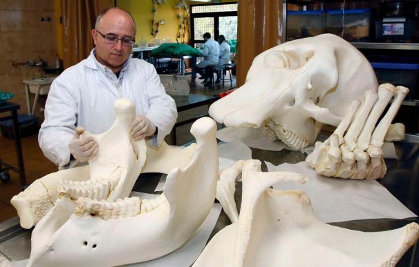 Murcia inicia un préstamo de huesos y órganos de animales para alumnos de veterinaria