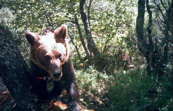 Localizan un oso que se escapó de una trampa en la Cordillera Cantábrica
