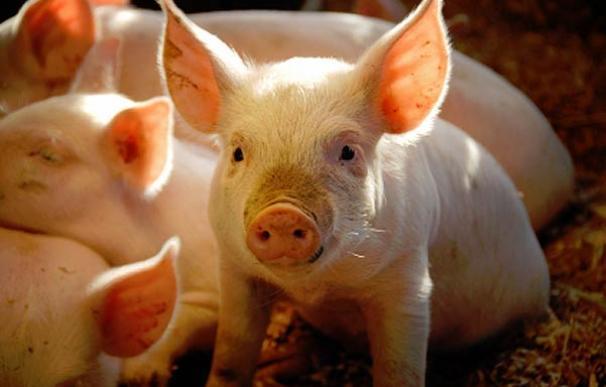 Con la crisis, los cerdos vuelven a los salones de las casas irlandesas