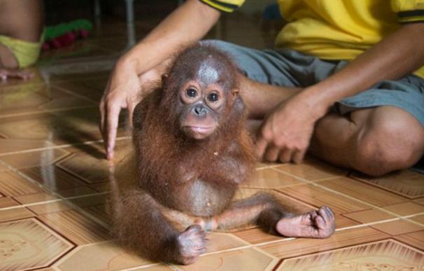 El trauma psicológico de un bebe orangután que fue adoptado como mascota. Agencias.