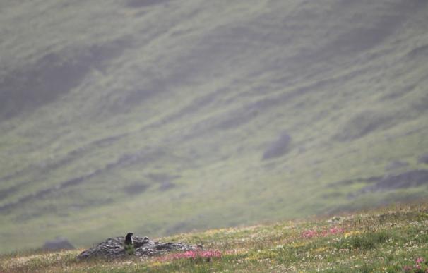 Las hembras de marmota son infieles con otros machos para evitar la consanguinidad