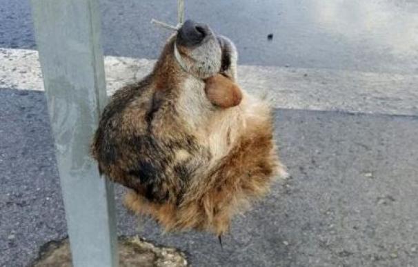 La cabeza del lobo que ha aparecido en Salas. (AVISPA)