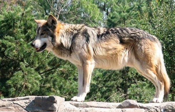 """UPA Madrid, """"preocupada"""" por el """"descontrol"""" de la fauna silvestre y la subida de un 1.500% del ataque de lobos"""