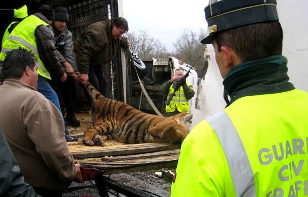 El accidente de un camión de un circo obliga a cortar una autovía para anestesiar a los tigres
