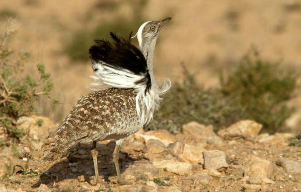 La avutarda macho utiliza la estrategia del girasol para atraer a la hembra