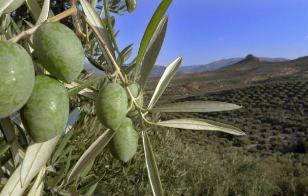 España pide la anulación de una multa por irregularidades en ayudas al olivar