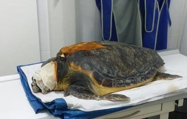 Equinac pide colaboración para salvar a una tortuga boba encontrada con la cara y el caparazón partidos