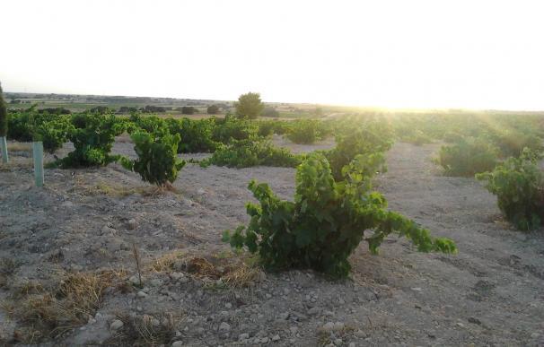 """La DO Mondéjar prevé una cosecha de uva """"por encima de lo normal"""" este año"""