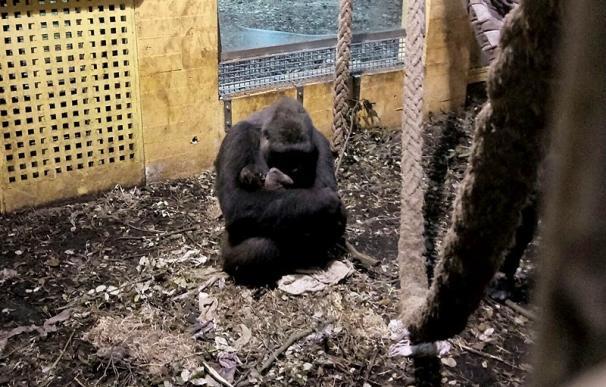 Nace en el Parque de la Naturaleza de Cabárceno el cuarto gorila en apenas cinco años