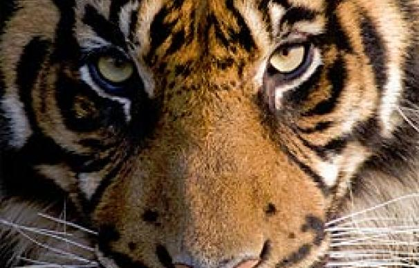Sólo quedan 400 tigres siberianos en estado salvaje en todo el mundo