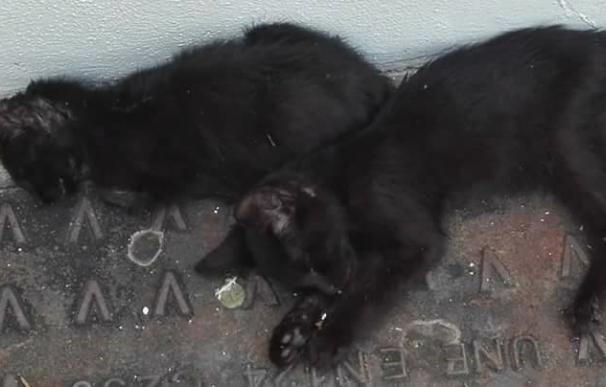 """Pacma alerta a las autoridades sobre """"un posible envenenamiento masivo"""" de gatos en Córdoba"""
