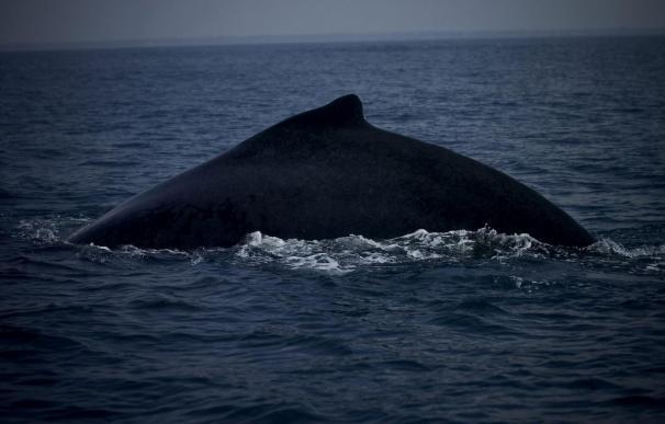 La Comisión Ballenera autoriza que por primera vez Groenlandia cace ballenas jorobadas