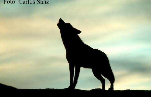 Ingenieros de Montes defienden al lobo como riqueza natural a mantener pero con control y ayudas justas a ganaderos